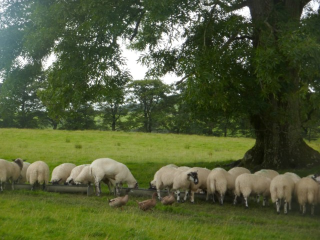 Sheep eating in a field