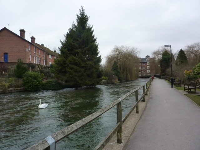 A swan on the River Itchen in Winchester
