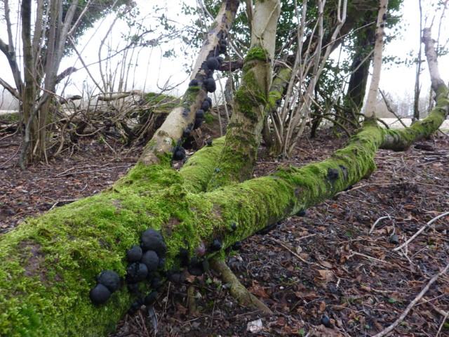 Mushrooms growing on a fallen tree log