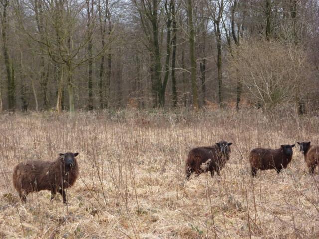 Some sheep