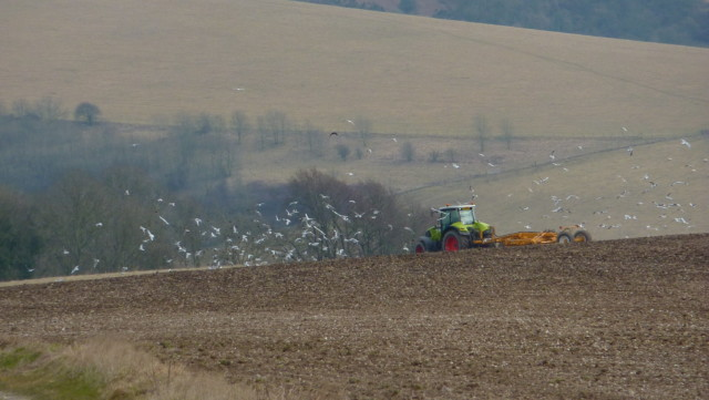 Gulls chase after a tractor