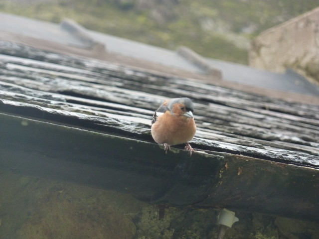 A chaffinch in the gutter of Black Sail hostel