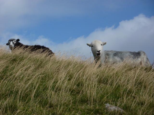 Two Herdwick sheep
