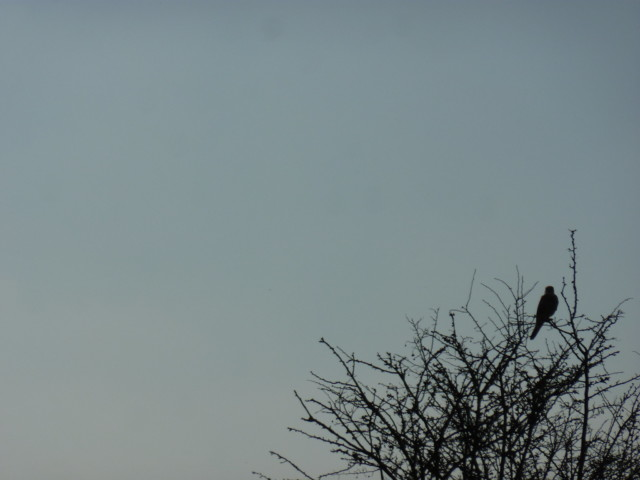 A red kite sitting in a tree