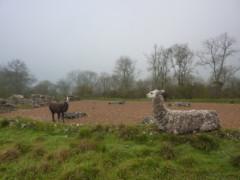 Lamas, seen on the Clarendon Way