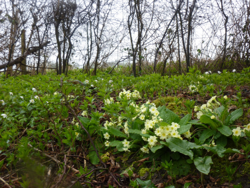 Primroses on Downs Link