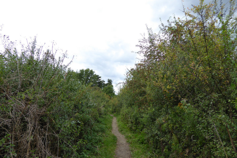 Overgrown footpath on the Thames Path near Datchett