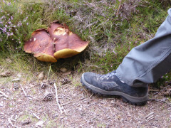 Large fungi, with foot for comparison on sizing