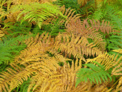 Ferns of several colours