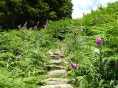 Bracken surrounding the path up Stone Arthur