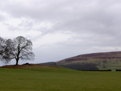 Trees in a field near Alston, seen from the Pennine Way