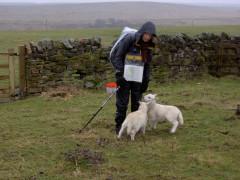 Lambs greet Catherine on Lowstead Farm