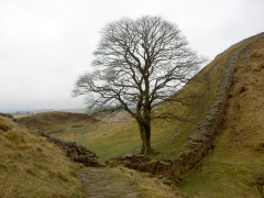 Sycamore Gap, where a sycamore tree grows next to Hadrian's Wall