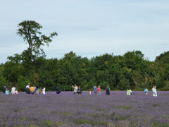 People standing amongst the lavender at Mayfield Lavender field