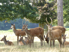 A group of deer in Bushy Park