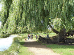 Curved trunk willow tree in Bushy Park