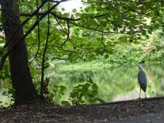 Heron stood next to the Hogsmill River in Ewell