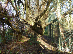Tree blocking path near Hatch End