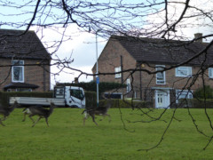 Deer in a housing estate