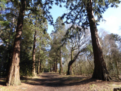 Giant redwoods in Havering Country Park