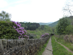Path towards Hayfield, lined with purple flowers