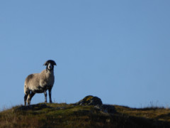 A sheep standing near the summit of Souther Fell
