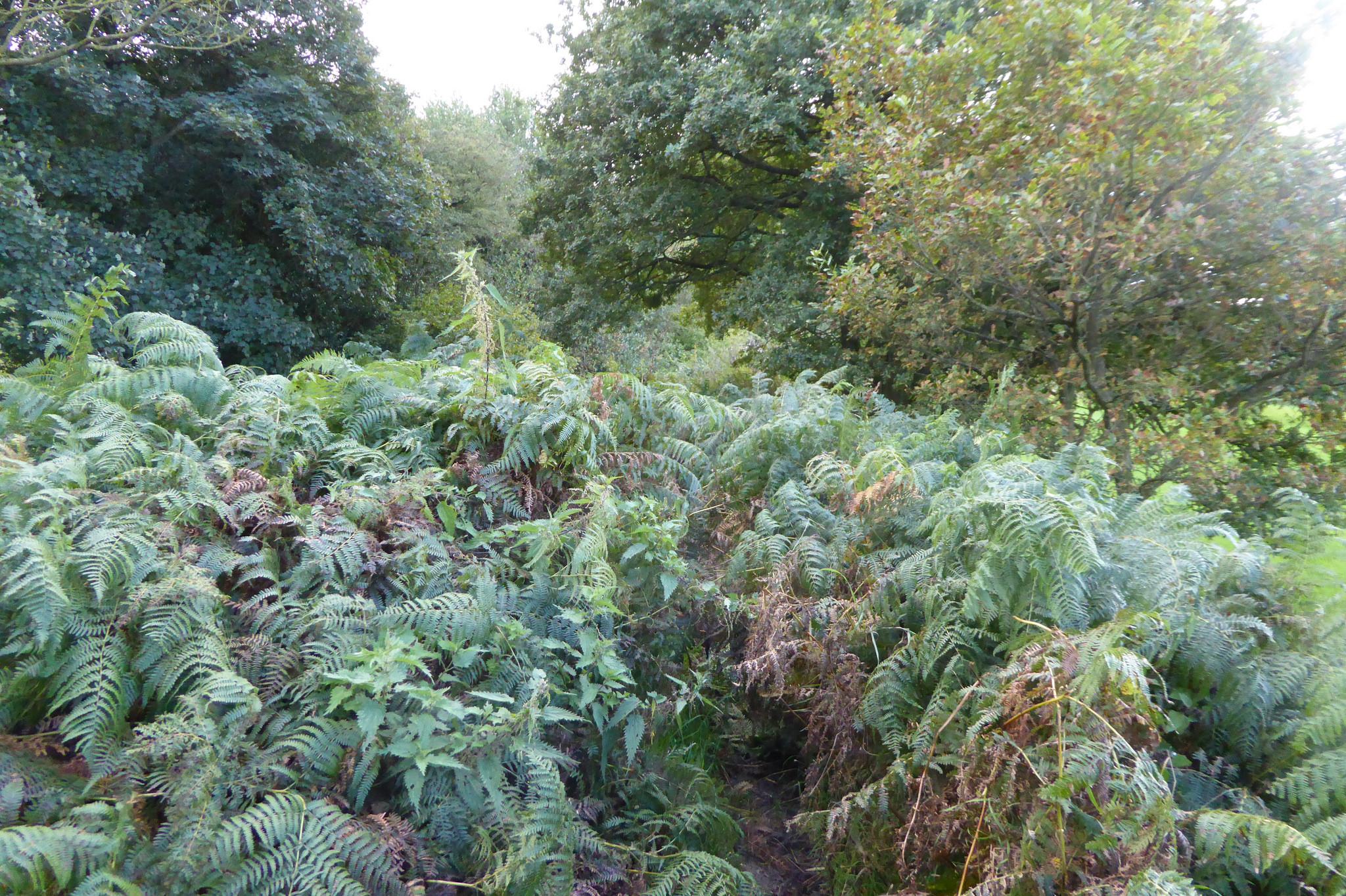 A bracken covered path