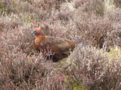 A grouse in the heather moorland