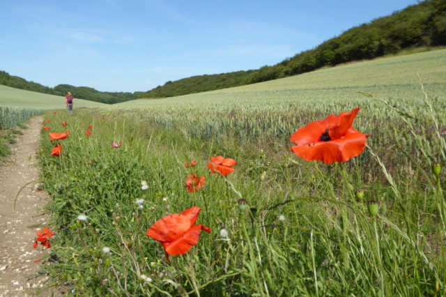 Poppies growing at the edge of the crops in Swin Dale