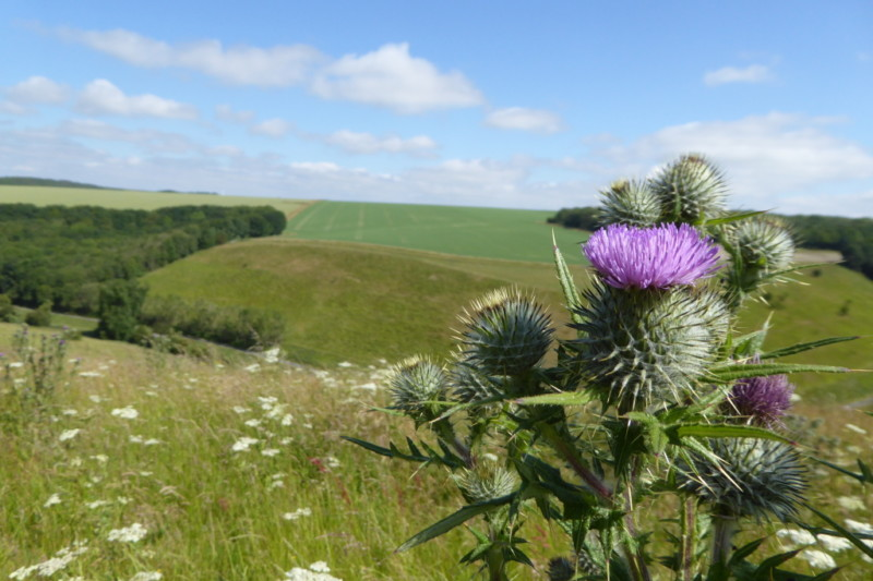 A photograph of a thistle with Pasture Dale in the background