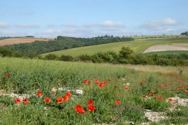 Poppies in Sylvan Dale
