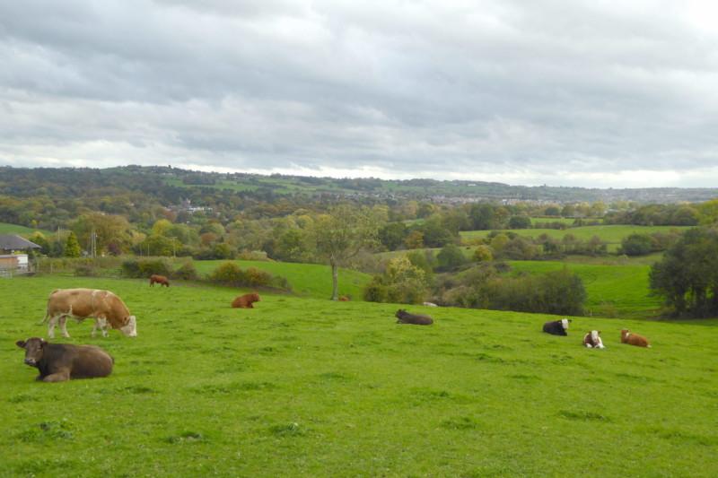 Cows near Congleton Edge