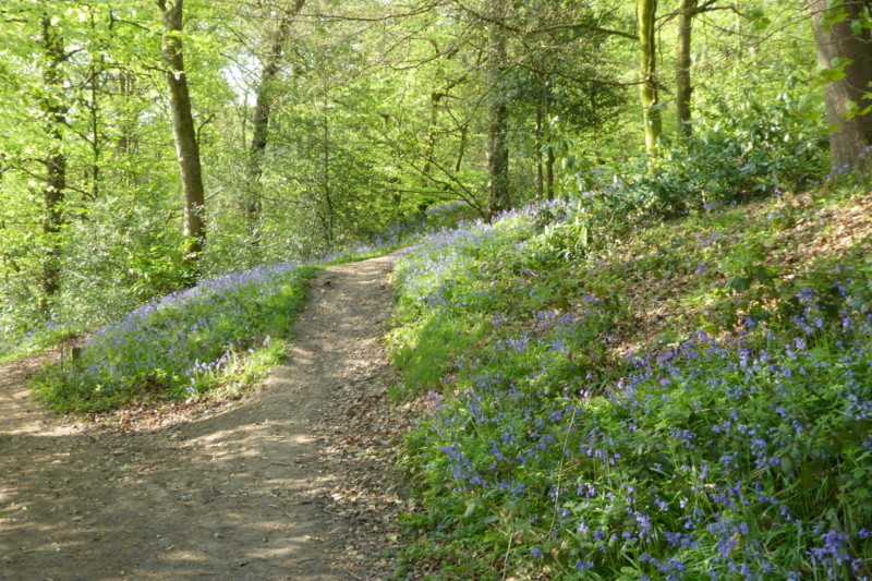 Bluebells in the woods of Woodbank Park